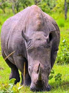 1 Day Rhino Tracking Uganda