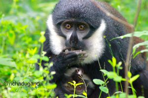 5 Day chimpanzee trekking and Queen Safaris