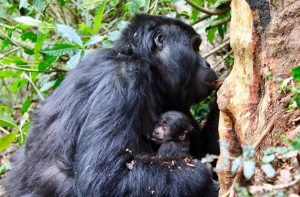 3 Day Bwindi Gorilla Safari
