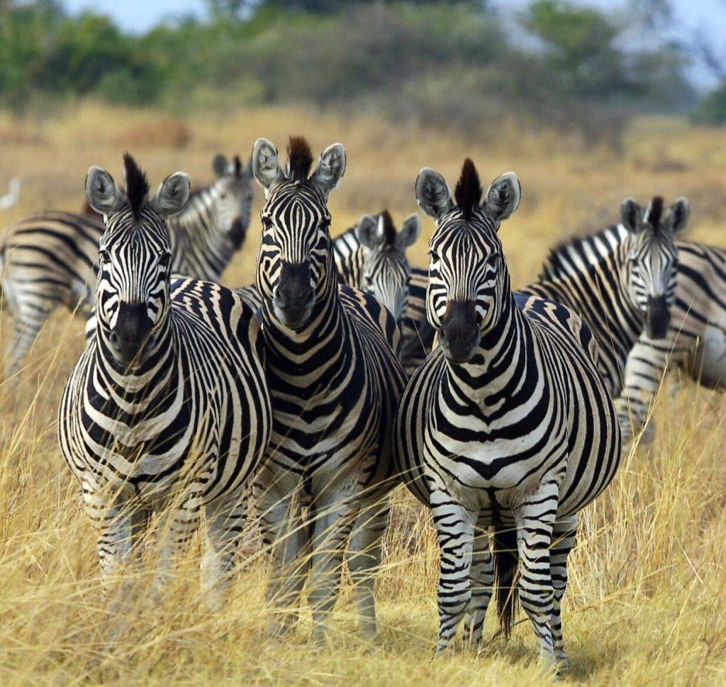 Where to find a Zebra in Uganda