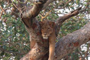 tree lions!