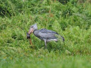1 day birding mabamba swamp tour