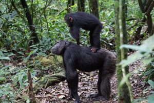 3 Day Kibale Chimpanzee Safari