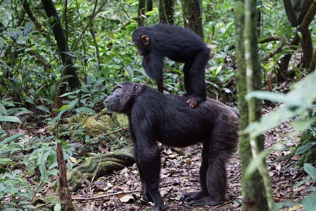 5 day chimpanzee with wildlife tour