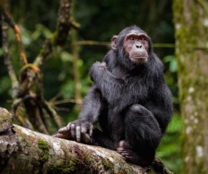 1 Day Ngamba Chimps Tour