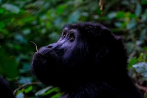 5 Day Gorillas & Chimpanzees Tours